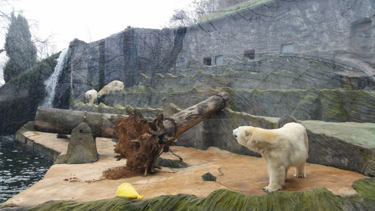 Baltasis lokys Prahos zoologijos sode